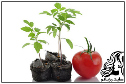 آموزش پرورش گوجه فرنگی در خانه
