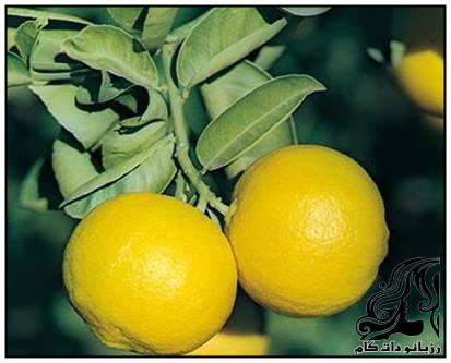لیمو ترش و فواید شگفت انگیز لیموشیرین