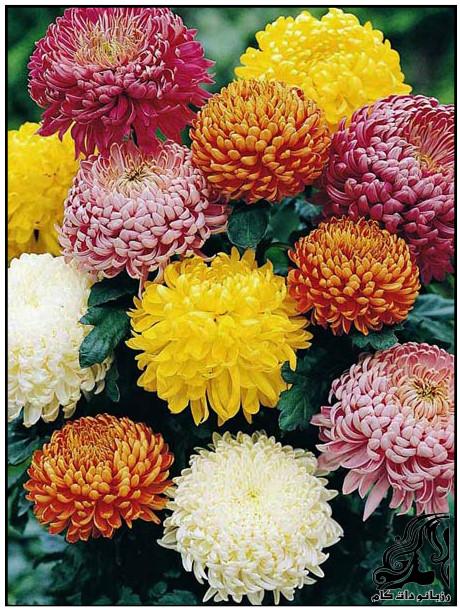 آموزش کاشت بذر گل داوودی