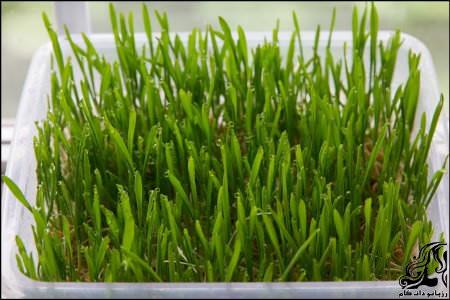 کاشت سبزه سفره هفت سین بصورت تصویری