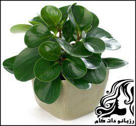 نحوه پرورش و نگهداری گیاه برگ قاشقی