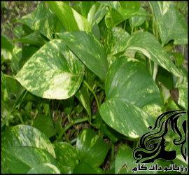 پرورش و نگهداری گیاه پوتوس