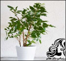 نکاتی برای نگهداری از گیاه بنجامین