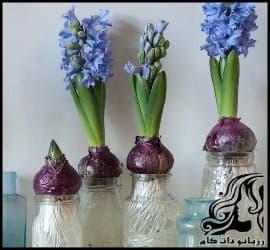 پرورش گل و گیاه و آموزش کاشت پیاز گل سنبل برای هفت سین